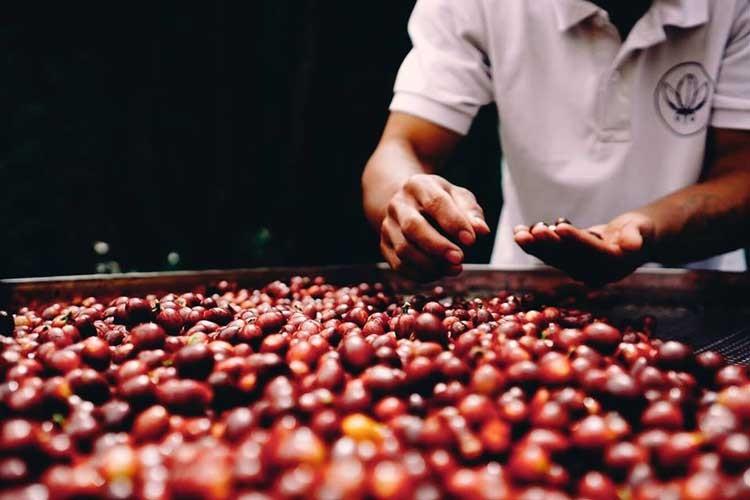 コーヒー豆:ベトナム ダラット レッドブルボン