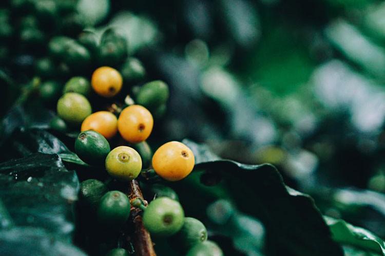 イエローブルボンのコーヒーの果実