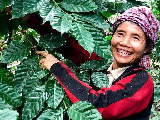 コーヒー栽培 ミャンマー
