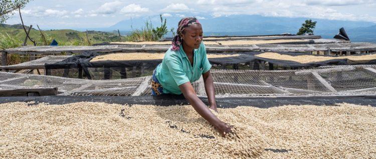 コンゴ共和国 コパーデ組合 コーヒー栽培