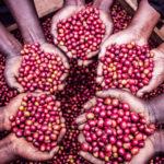 コンゴ共和国 コーヒー豆栽培