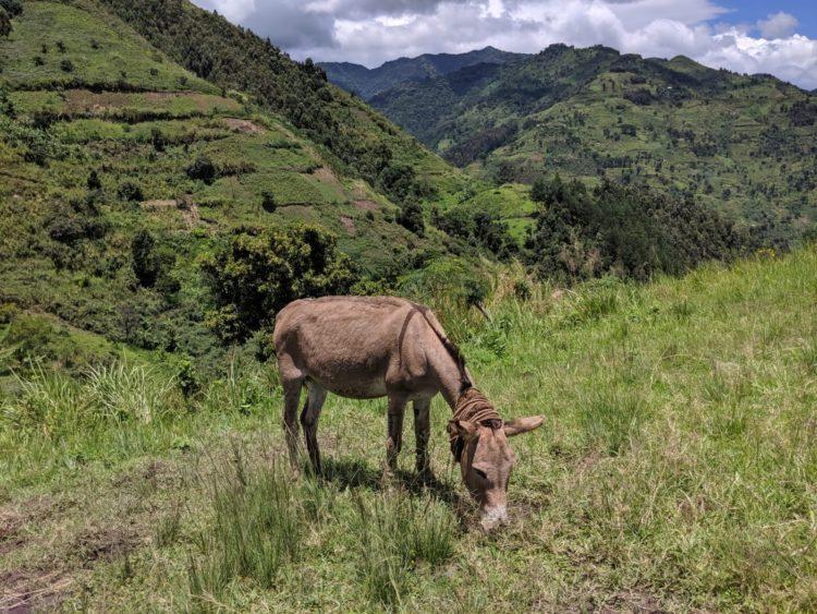 ウガンダ コーヒー豆を運ぶロバ