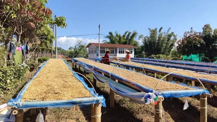 ミャンマー ダラット コーヒー農家